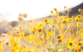 Spring field of bright yellow flowers in the glowing sunlight